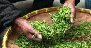 Druhy čajů a jejich přínos pro lidské zdraví