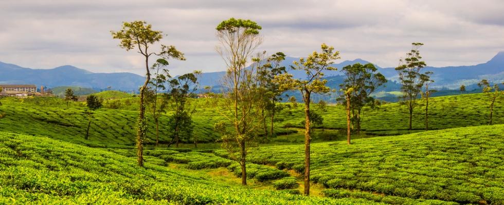 Tajuplné účinky zeleného čaje